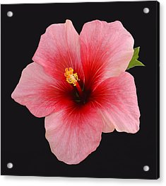 Single Hibiscus Flower On A Black Background Acrylic Print by Rosemary Calvert
