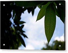 Single Mango Leaf Silhouetted Against The Sky Acrylic Print