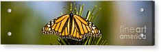 Single Monarch Butterfly Acrylic Print by Darcy Michaelchuk