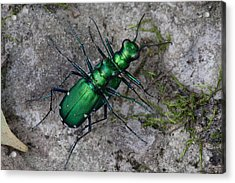 Acrylic Print featuring the photograph Six-spotted Tiger Beetles Copulating by Daniel Reed