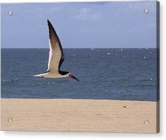 Skimmer In Flight Acrylic Print