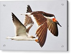 Skimmers Acrylic Print by Paulette Thomas
