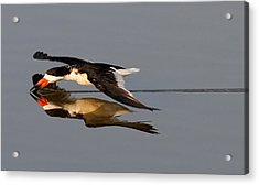 Skimming Run Acrylic Print by Phil Lanoue