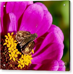 Skipper And A Pretty Flower  Acrylic Print