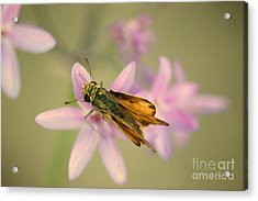 Skipper Butterfly Acrylic Print by Brooke Roby