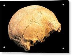 Skull 4, Sima De Los Huesos Acrylic Print by Javier Truebamsf