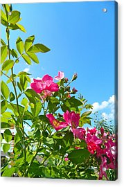 Skyward Roses Acrylic Print by Randy Rosenberger