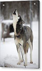 Sled Dog Howling Acrylic Print by Pete Ryan