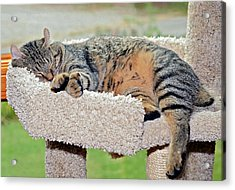 Sleeping Cat Acrylic Print by Susan Leggett