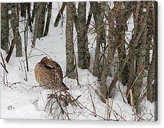 Sleeping Grouse On Snow Acrylic Print