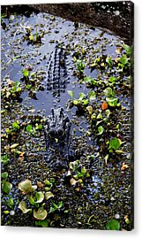 Sleepy Alligator Acrylic Print by Luis and Paula Lopez