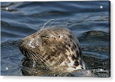 Acrylic Print featuring the photograph Sleepy Seal by Rick Frost
