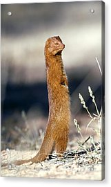 Slender Mongoose Acrylic Print by Tony Camacho
