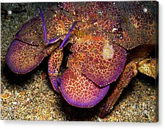 Slipper Lobster On Seabed Acrylic Print by Sami Sarkis