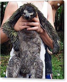 Sloth Acrylic Print