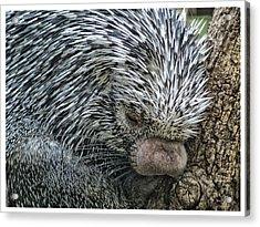 Slumbering Porcupine  Acrylic Print