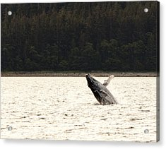 Small Breaching Whale Acrylic Print by Darcy Michaelchuk