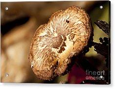 Small Brown Mushroom  Acrylic Print by Wilma  Birdwell