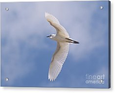 Acrylic Print featuring the photograph Small Egret Flying Over The House by John  Kolenberg