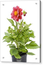 Acrylic Print featuring the photograph Small Flower In A Small Pot by Aleksandr Volkov