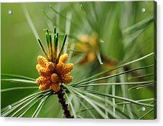Small Male Cones On A Pine Tree Acrylic Print by Darlyne A. Murawski