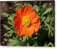 Small Orange Poppy Acrylic Print