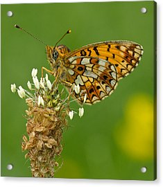 Small Pearl-bordered Fritillary Acrylic Print by Anne Sorbes