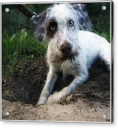 Small White Dog Acrylic Print