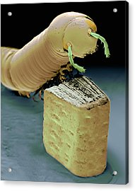 Smallest Book And Millipede, Sem Acrylic Print by Volker Steger