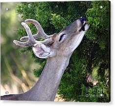 Smell Of Cedar In The Morning Acrylic Print by Robert Frederick