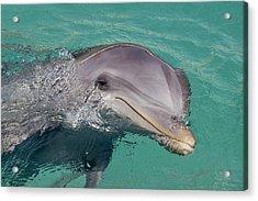 Smiling Atlantic Bottlenose Dolphin Acrylic Print by Dave Fleetham