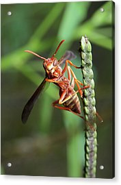 Smiling Wasp Acrylic Print by Nick  Shirghio