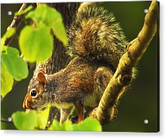 Snaggletooth Squirrel In Tree Acrylic Print by Bill Tiepelman