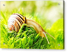 Snail Acrylic Print by Copyright OneliaPG Photography