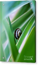 Acrylic Print featuring the photograph Snail On Yuca Leaf by Werner Lehmann