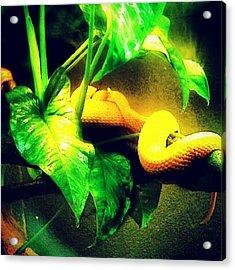Snake At The Toronto Zoo.... #animal Acrylic Print