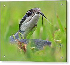 Snake In The Grass Acrylic Print by Jessie Dickson