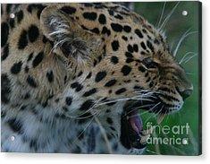 Snarling Leopard Acrylic Print by Carol Wright