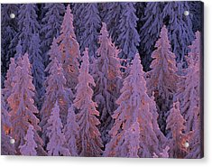 Snow Blanketed Fir Trees In Germanys Acrylic Print by Norbert Rosing