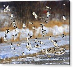 Snow Buntings Acrylic Print by Tony Beck