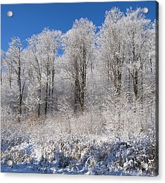 Snow Covered Maple Trees Iron Hill Acrylic Print by David Chapman