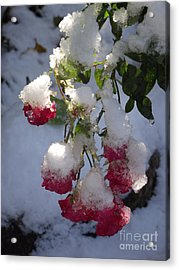 Snow Covered Roses Acrylic Print