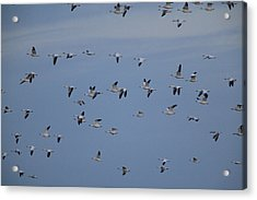 Snow Geese In Flight Acrylic Print by George Grall
