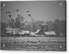 Acrylic Print featuring the photograph Snow Geese by Kelly Reber