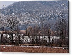 Acrylic Print featuring the photograph Snow Geese Rising by William Jobes