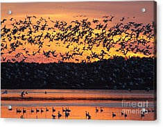 Snow Goose Sunset Acrylic Print by Ursula Lawrence