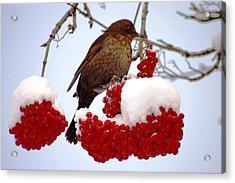 Snow On Rowan Berries Acrylic Print by Meeli Sonn
