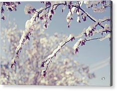 Snow On Spring Blossom Branches Acrylic Print