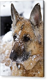 Acrylic Print featuring the photograph Snowball by Thanh Tran