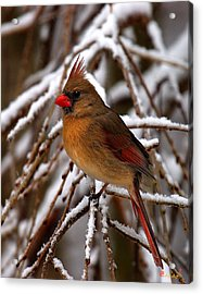 Acrylic Print featuring the photograph Snowbirds--cardinal Dsb025 by Gerry Gantt